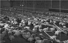 Chicken Farm Development