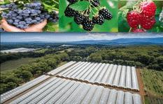 特级蓝莓,树莓,黑莓果园出售 – 美国合同培育生产